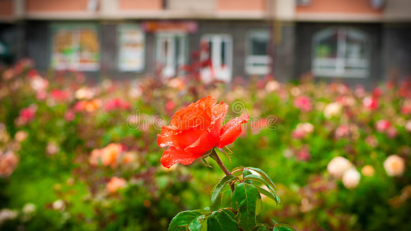 Red rose on a background of flower beds. Red rose on a background of elegant flower beds royalty free stock photos