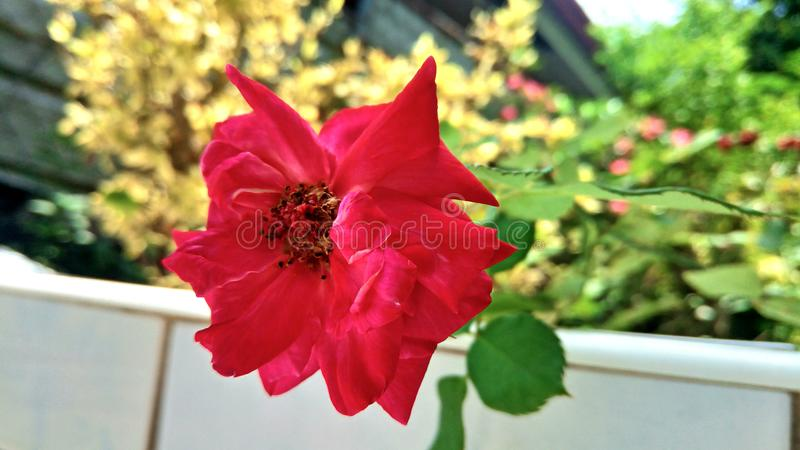 Red rose at the backyard garden stock images
