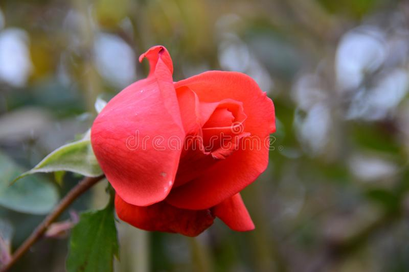 Red rose. Beautiful red rose stock photos