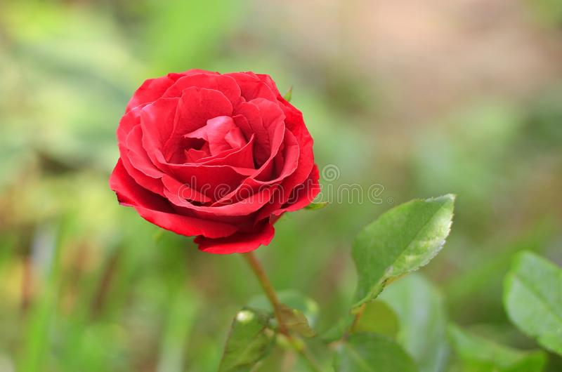 Red rose on a beautiful blurred background.  royalty free stock image