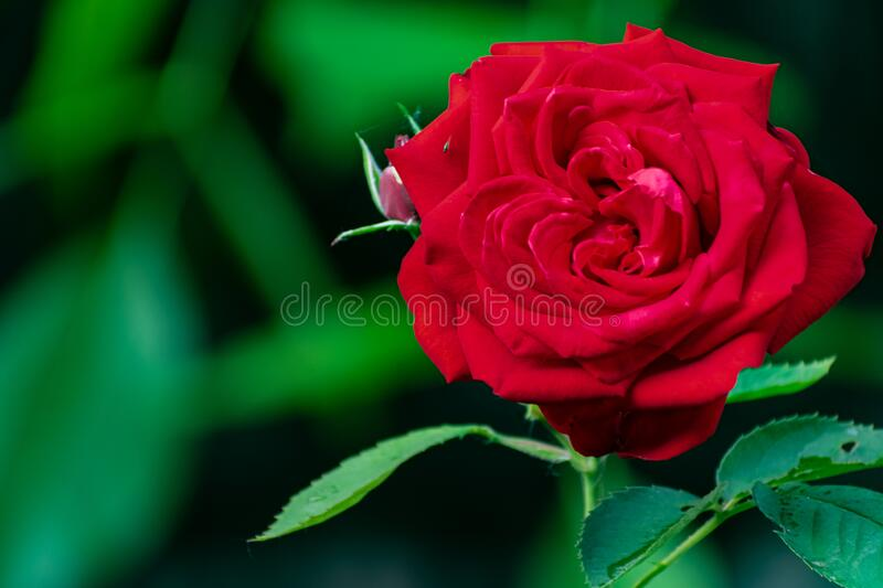 Red rose, beautiful blurred background with a bright flower. Blooming nature in summer. stock photos
