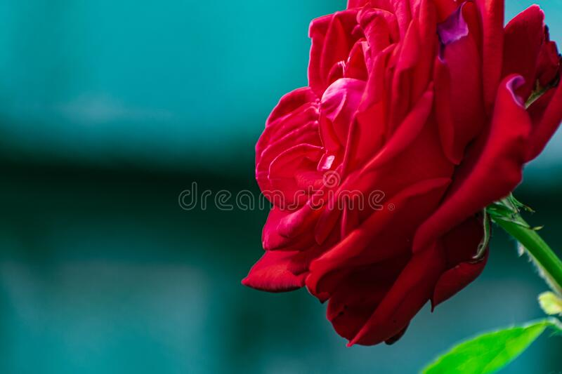 Red rose, beautiful blurred background with a bright flower. Blooming nature in summer. stock photo