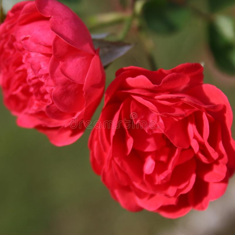 The Red Rose. This beautiful Red Rose is growing in the garden royalty free stock photography