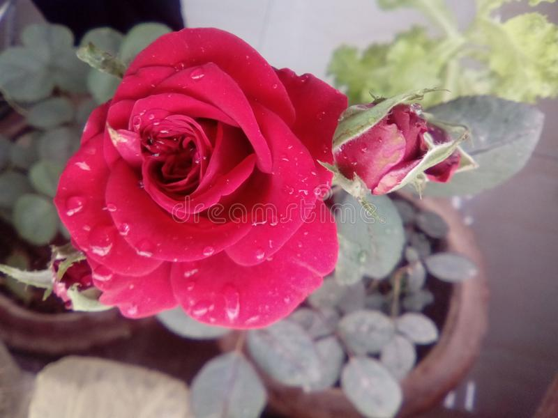 Red rose 3 royalty free stock images