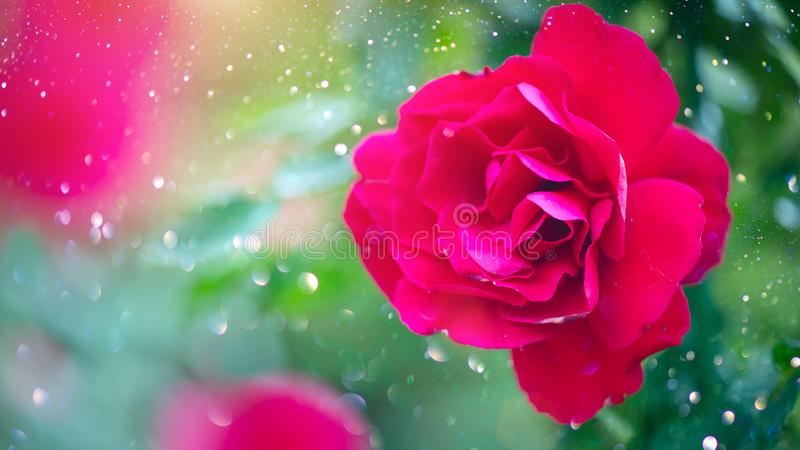 Red rose. Beautiful red rose flowers blooming in summer garden. Roses growing stock image