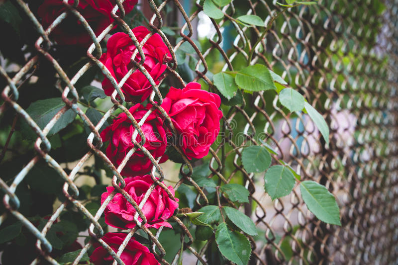 Red rose behind fence stock photography