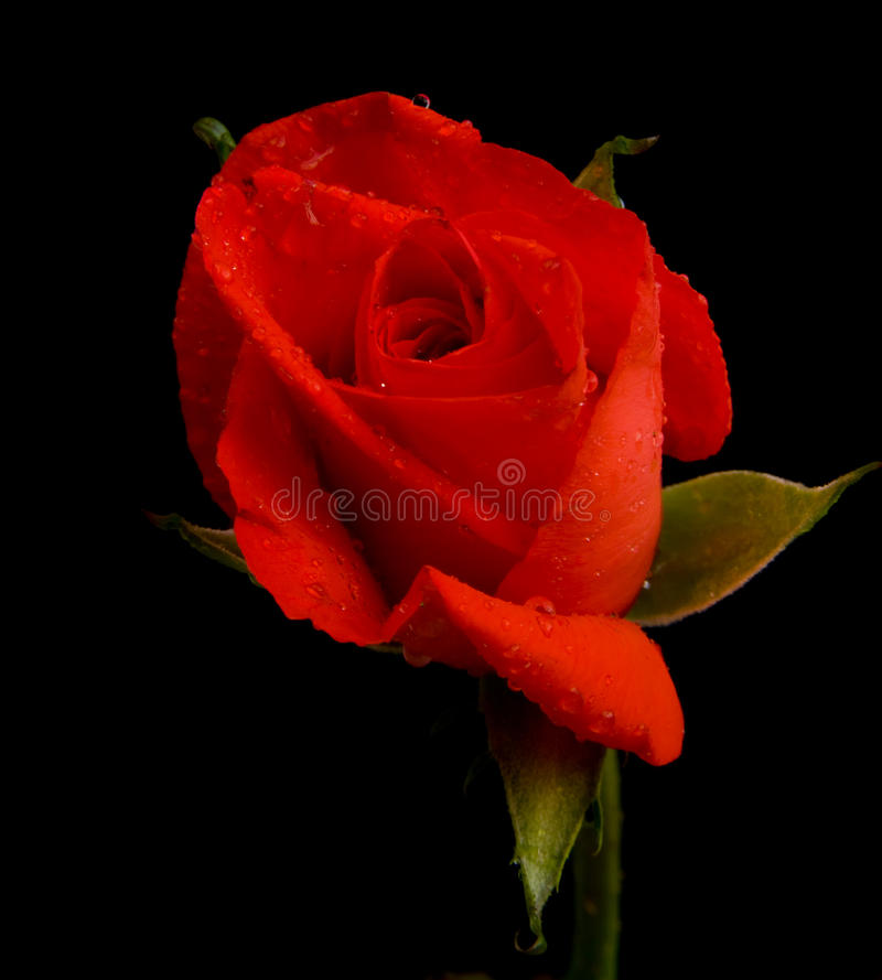 Red rose on black. A red rose bud just opening out on a dark plain background stock images