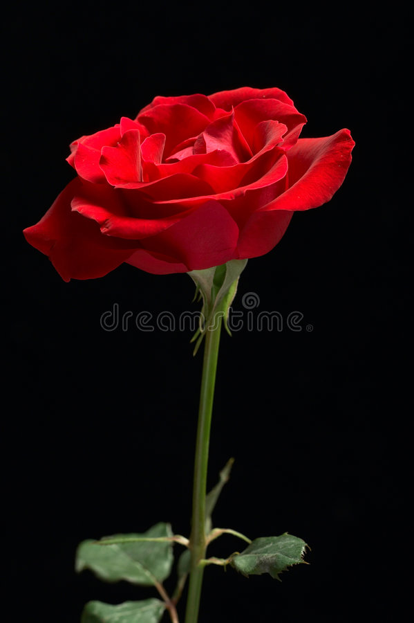 Red Rose Black Background. Red rose in black background