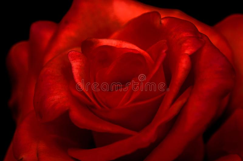 Closeup photograph of beautiful red rose with black background stock image