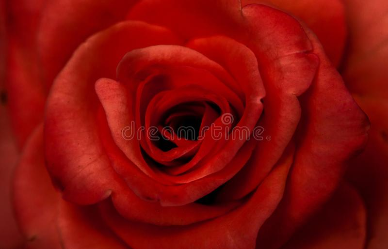 Closeup photograph of beautiful red rose. royalty free stock photography