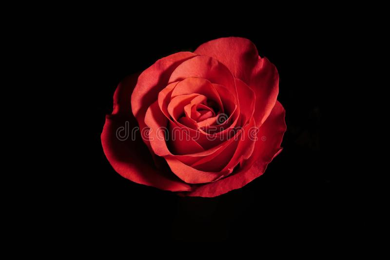 Red rose on black background with side warm light. red flower in artificial light, black background, red petals. / stock images
