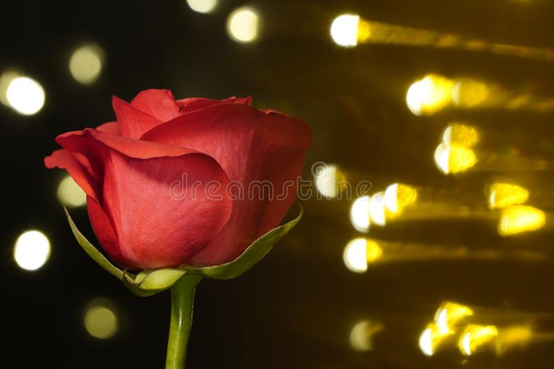 Red rose on black background with side warm light. red flower in artificial light, black background, red petals.  royalty free stock photo