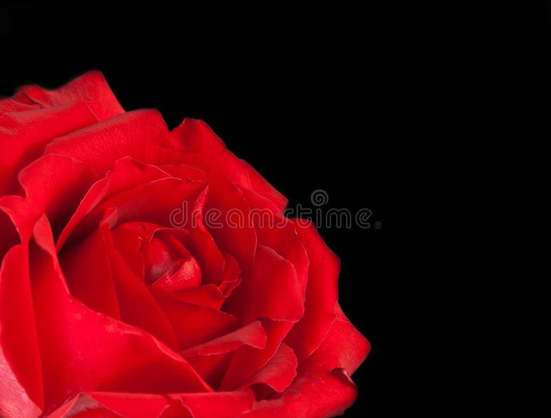 Red rose on black background, valentine day and love concept royalty free stock photos