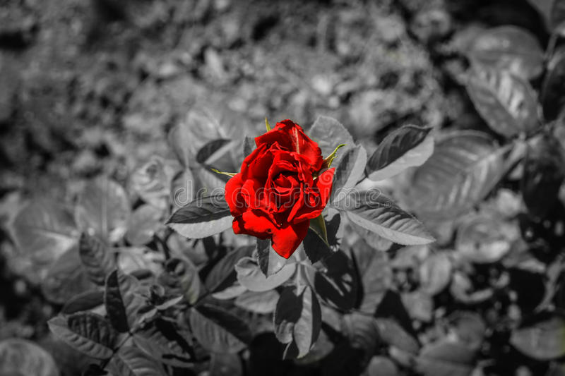 Download red rose on black and white background stock photo image of plant love