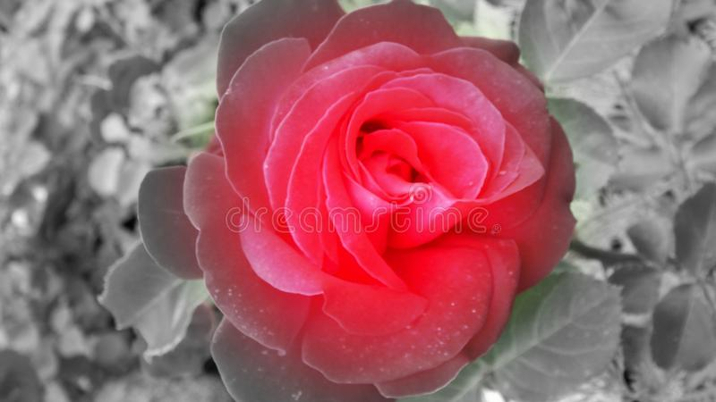 Red rose with black and white background royalty free stock image
