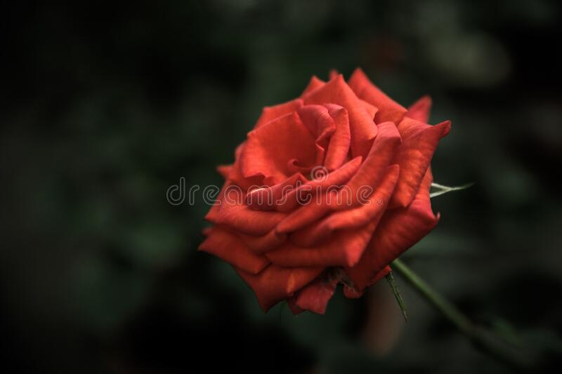 Red rose bloom royalty free stock photo