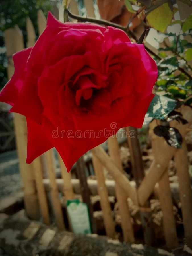 Red rose that bloom do not know the season. Red rose that bloom do not know the stock image