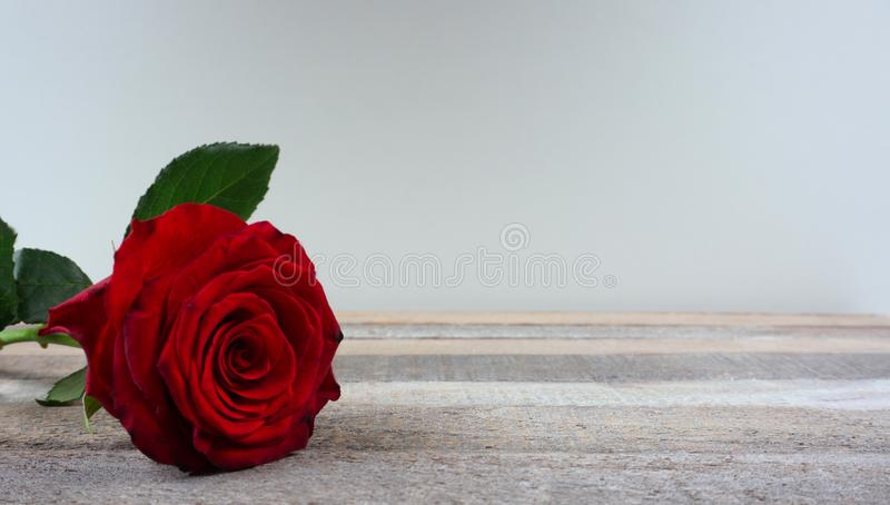 Red rose bloom by gift romantic flower at wooden background with copy space for your own text stock photo