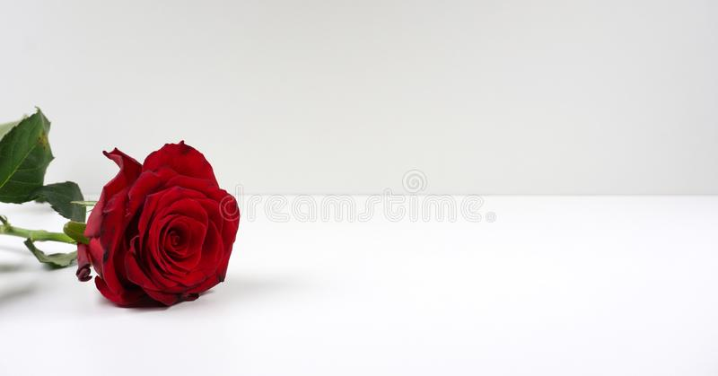 Red rose bloom by gift single beautiful red rose isolated on white background with copy space for your text royalty free stock images