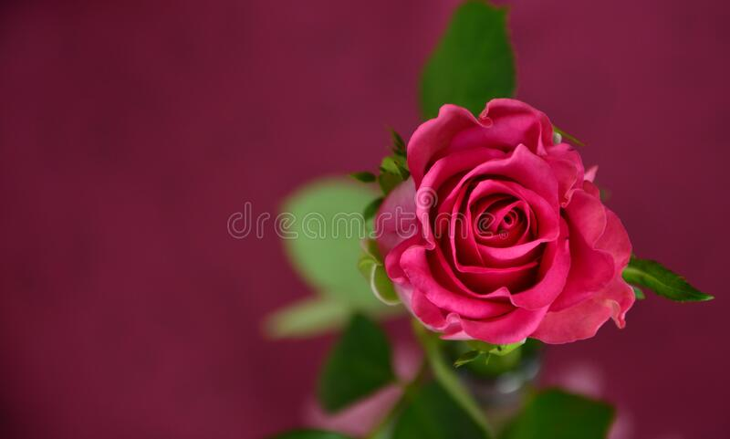 Red rose bloom stock photography