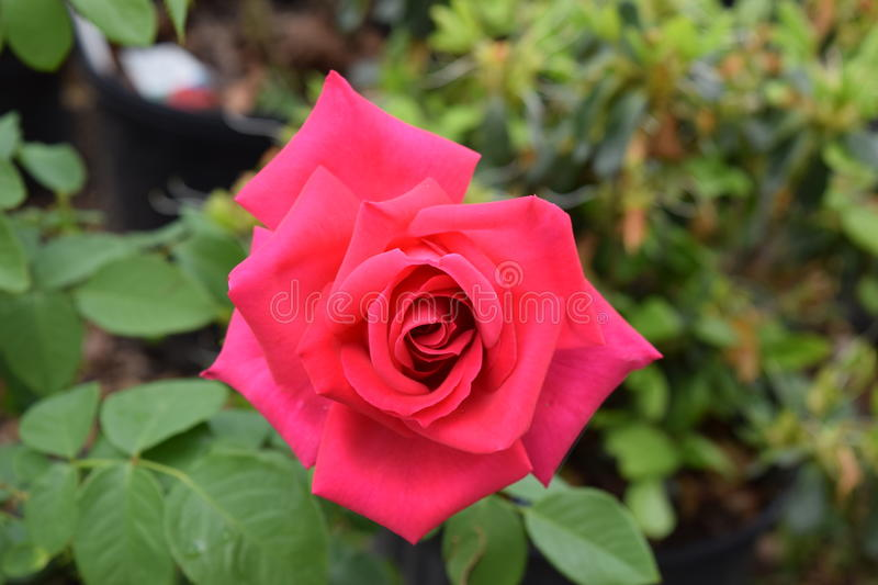 Red rose bloom. Greenhouse red rose bloom with green leaves surrounding it stock photo