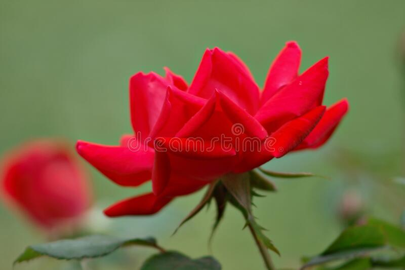 Red rose in bloom on a rose bush. Red rose in full bloom on a rose bush with green back ground royalty free stock photos