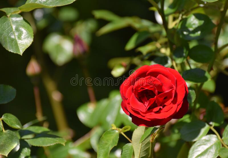 A red rose blooming on a rose bush royalty free stock photo