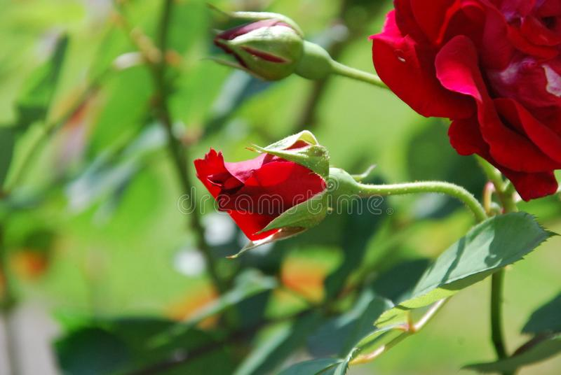 Red Scented Roses Blooming in Garden stock photography