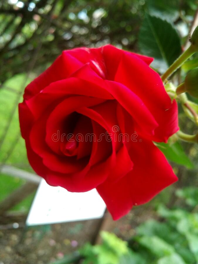 Red rose blooming flower closeup, with a white contrast background element stock photography