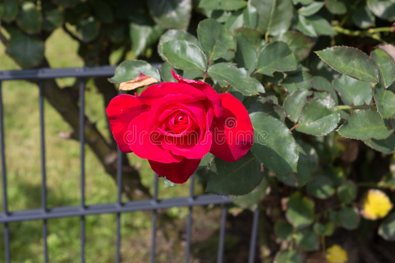 Red rose blossom at bush royalty free stock images