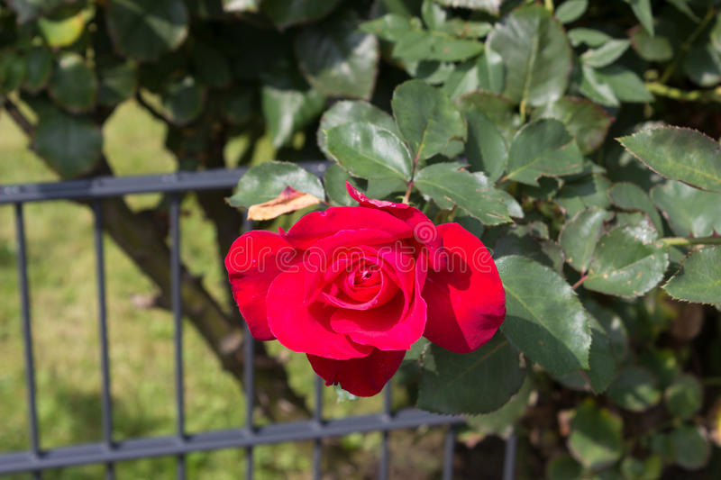 Red rose blossom at bush stock photos