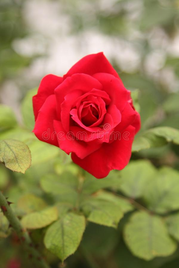 Red rose blossom. stock photo