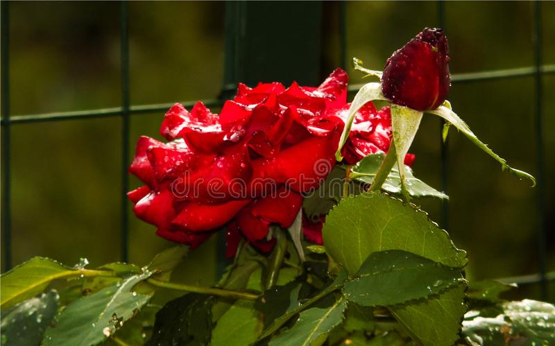 Red rose blossomed and a bud with raindrops on the petals, colored red flower, love. Wallpaper of artistic closeup of red rose blossomed and red bud of rose stock photo