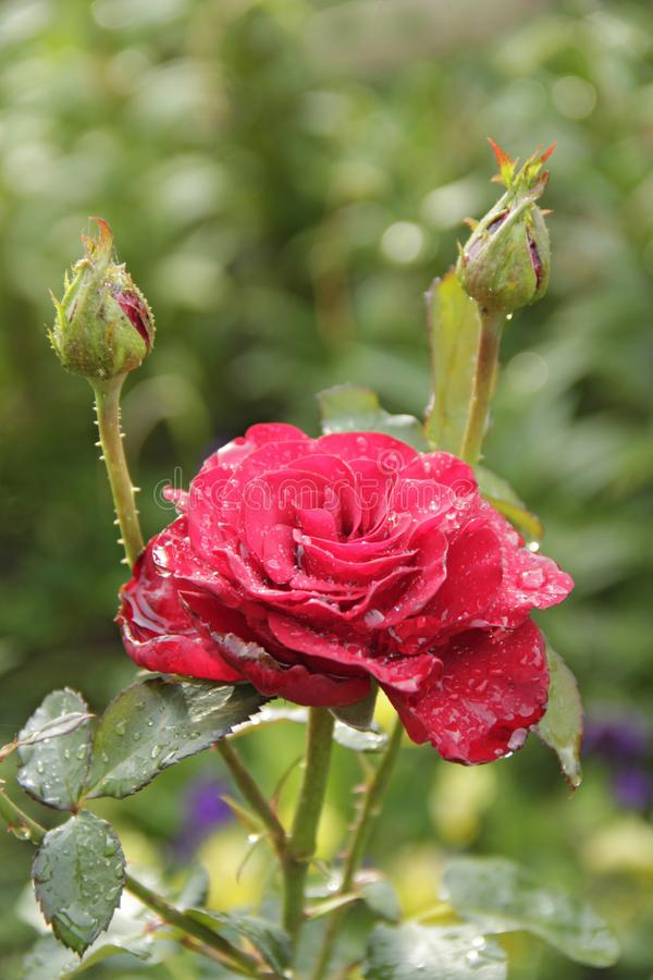 Red rose blossoming in garden after rain. Beautiful flower closeup blooming in garden stock images