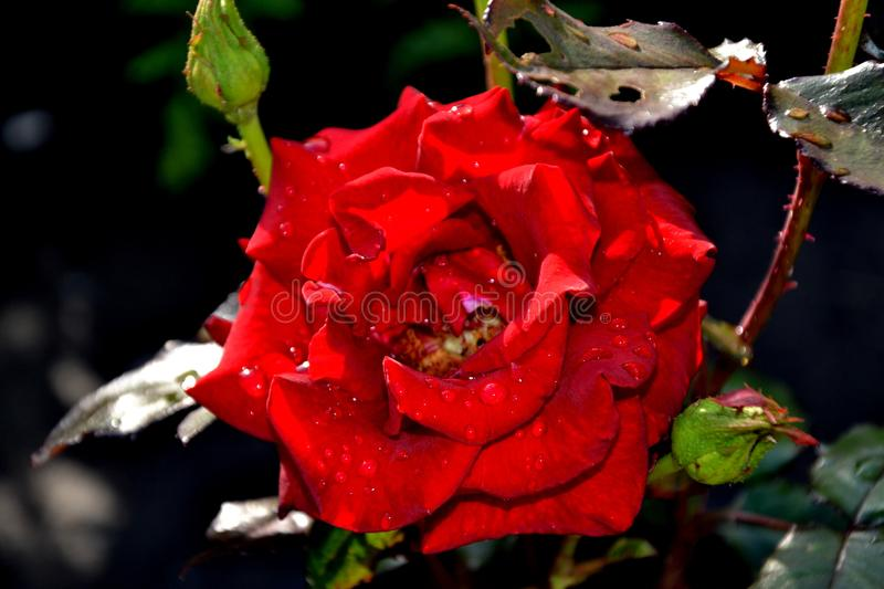 Red Rose. The red rose blossoms in a dew drop garden buds on the sun stock photography