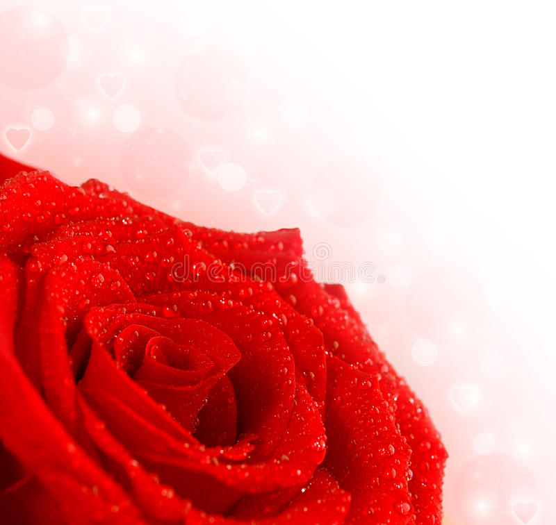 Red rose border. Photo of red rose border, beautiful rose bouquet isolated on pink blur background, fresh flowers with water drops on petals, floral frame with royalty free stock image