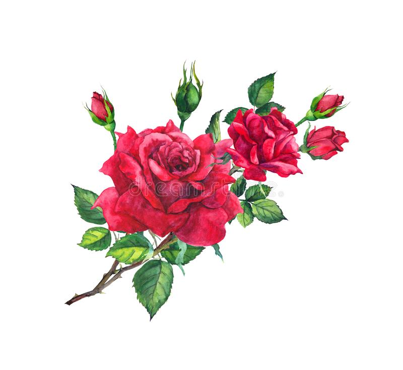 Red rose branch with buds and leaves. Watercolor art vector illustration