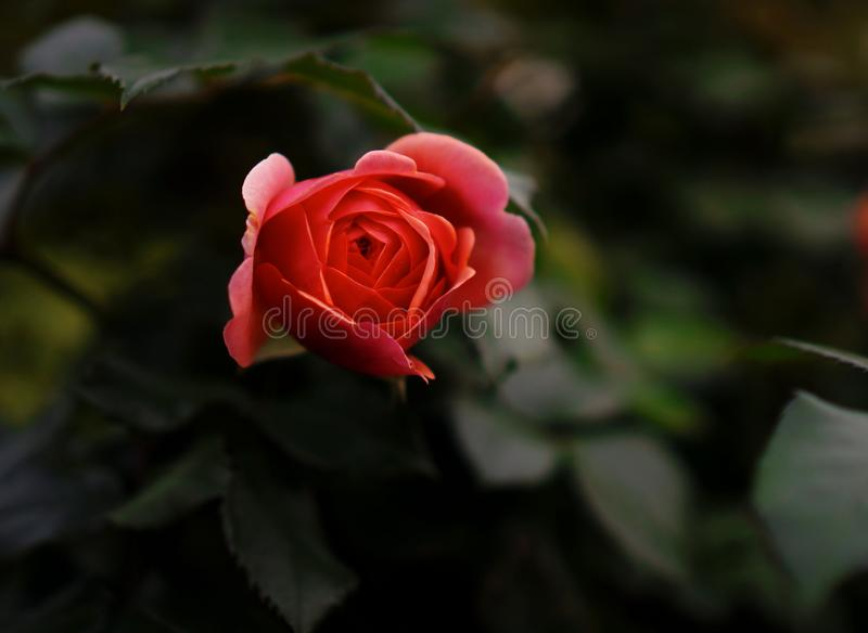 Red rose bud. Red rose bud on a dark green background of leaves royalty free stock photos