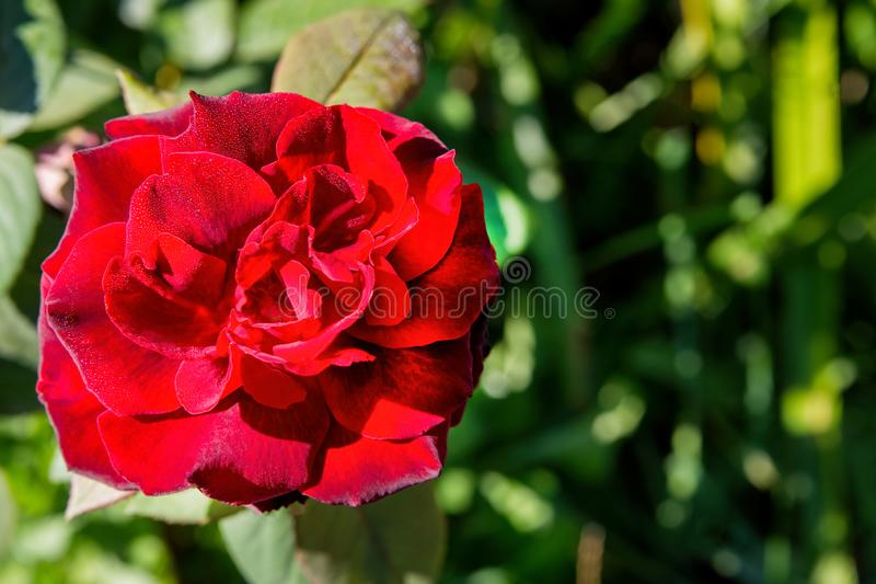 Red rose Bud on green background. Flower for postcards. Red rose on Valentine`s day. M. Acro photography of flowers royalty free stock images