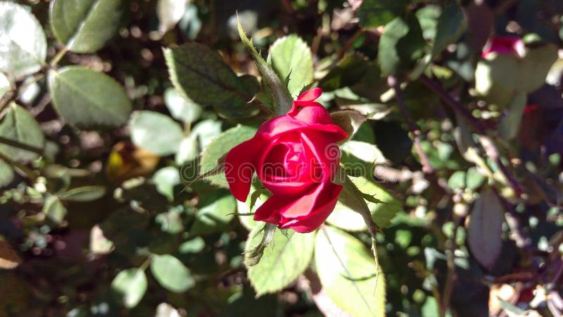 A Red Rose Bud Opening. A detailed macro shot of a red rose bud opening royalty free stock images