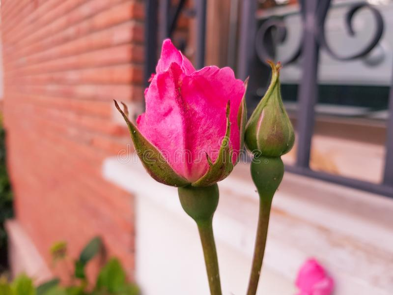 Red Rose bud, opening next to another cocoon about to open up. You can see a window with its gate stock photography