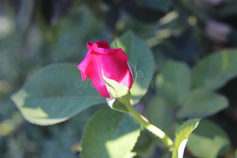 Red Rose Bud royalty free stock photo