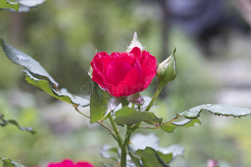 Red rose with green leaves and water drops royalty free stock images