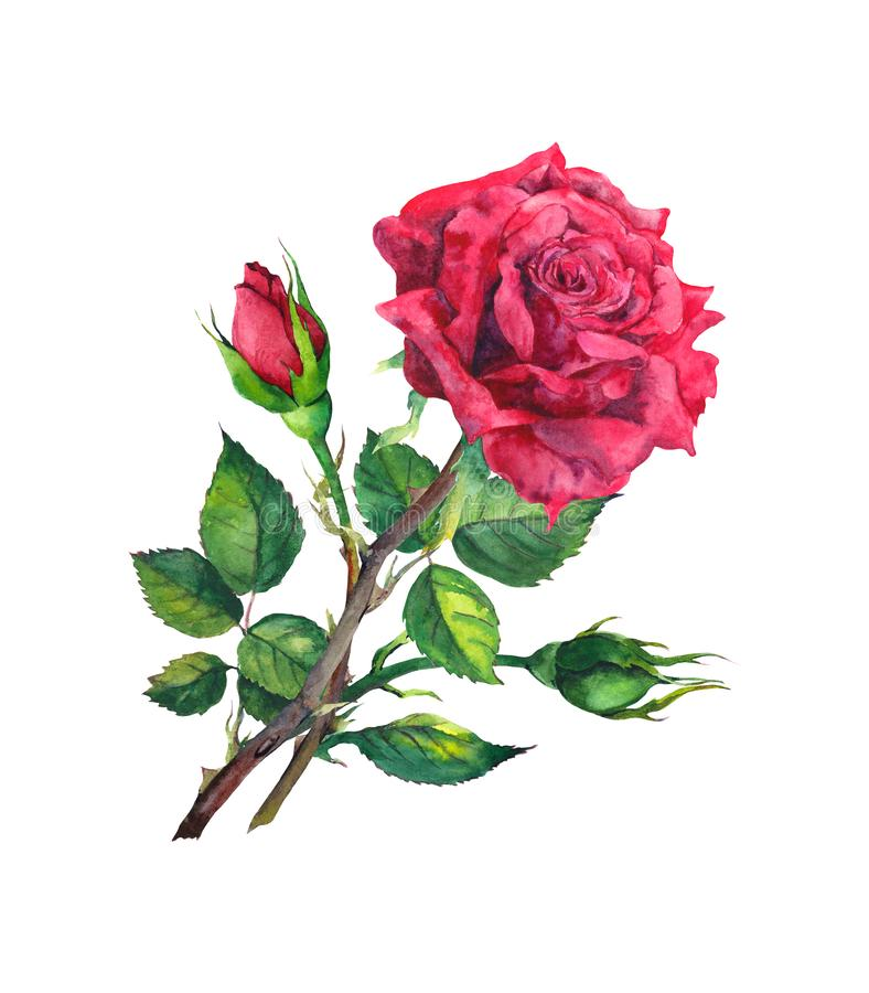 Red rose with buds and leaves. Watercolor illustration stock illustration