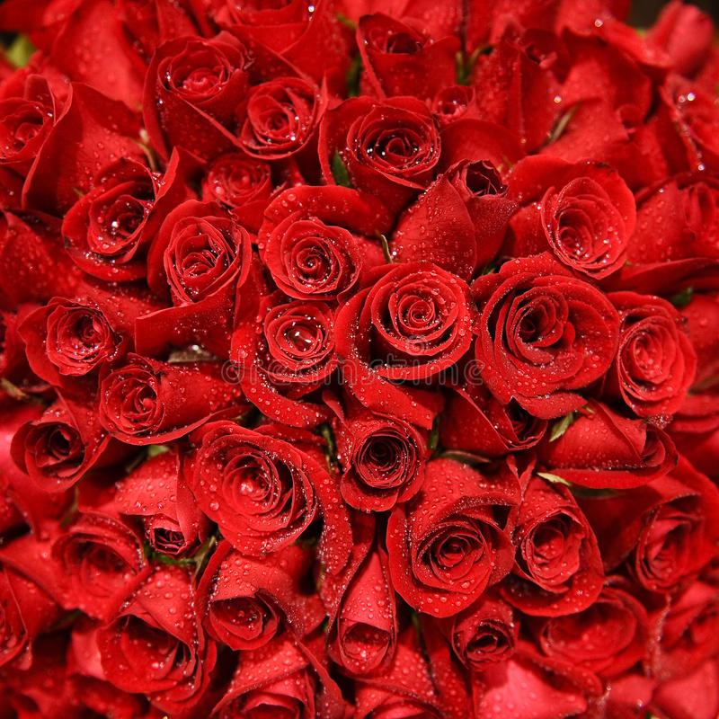 Red Rose Bundle royalty free stock photo