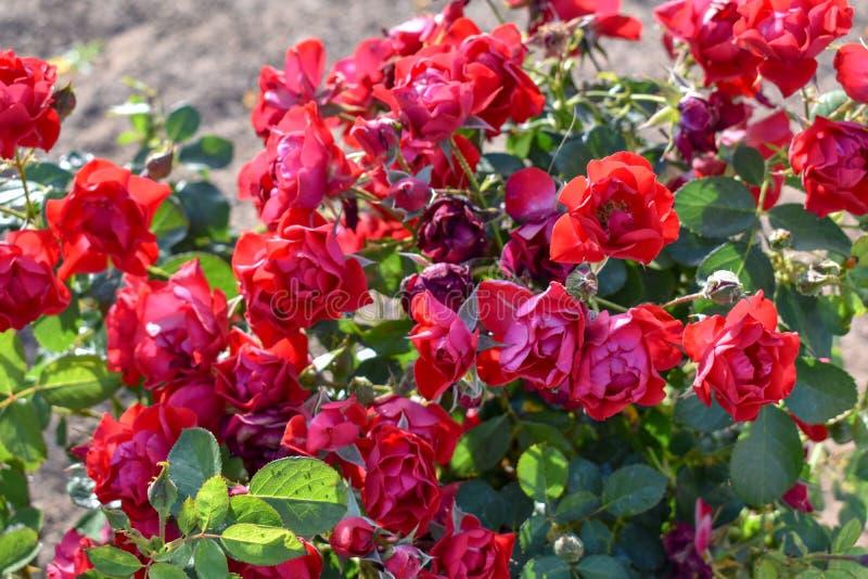 Rose bush stock photography