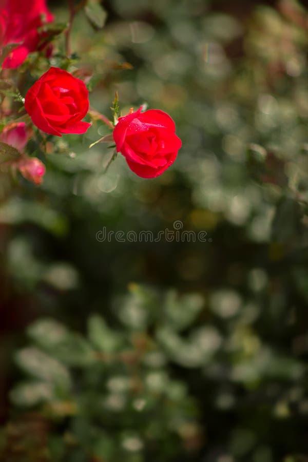 Red rose bush border stock photo