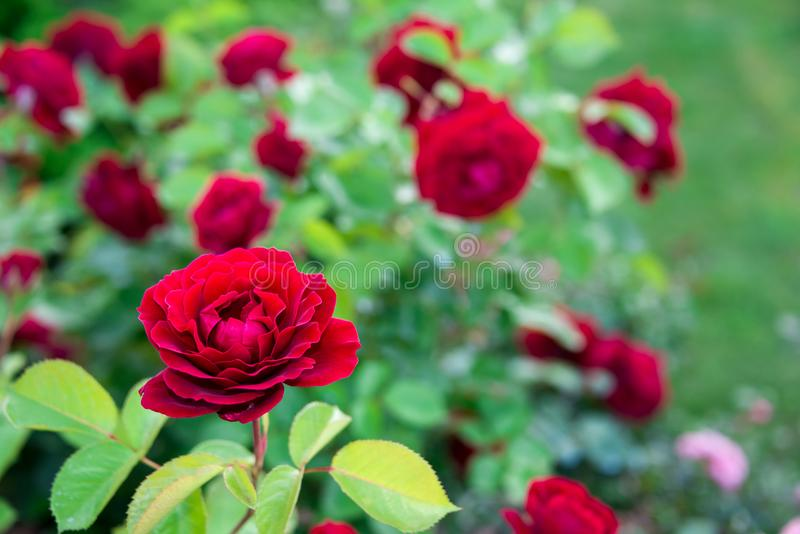 Red rose bush in the garden stock image
