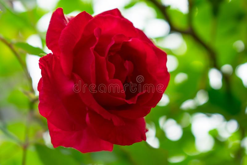 Red rose on a bush royalty free stock photo