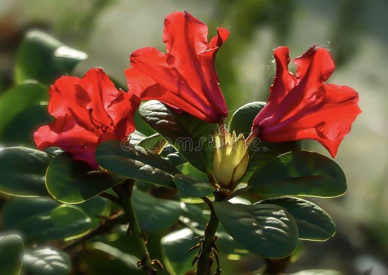 Red Rose Bush Summer Seasonal Plant Retro foto de stock royalty free